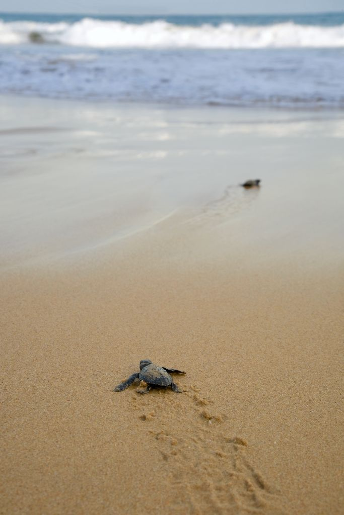 Feel the fear: Loggerhead sea turtle emergence: the turtles emerge in a group and proceed to crawl down the beach to the water